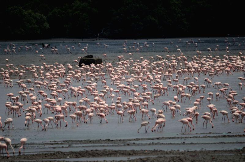 Flamingoes at Sewri Jetty of Mumbai on April 23, 2017.
