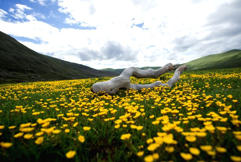 Flowers are seen in Hongyuan County of southwest China's Sichuan Province, June 24, 2015. Flower blossoming season falls in the high altitude grassland named as ...