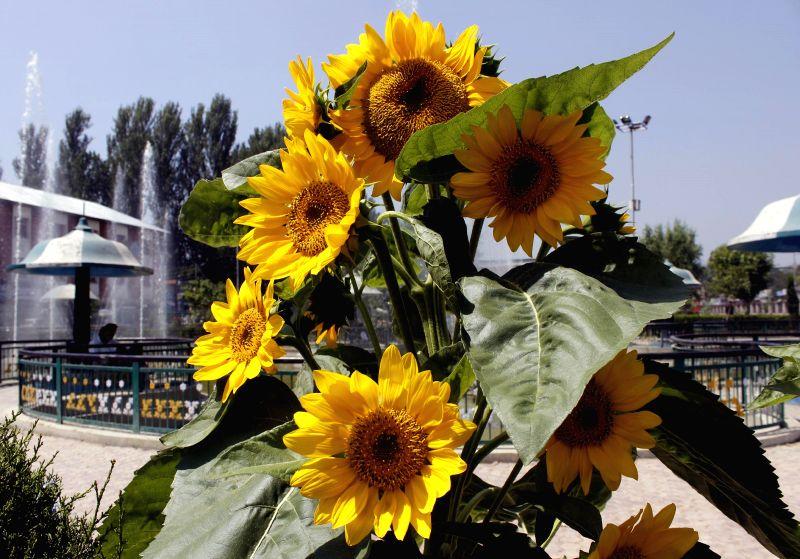 Flowers bloom in Pratap Park near Lal Chowk of Srinagar on Aug 20, 2014.