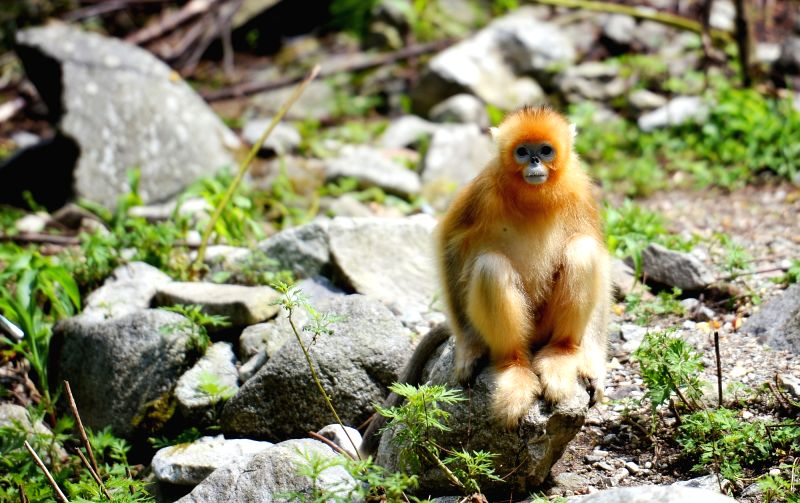 FOPING, Aug. 4, 2018 - A golden monkey rests in the giant panda valley of the Qinling Mountain in Foping County, northwest China's Shaanxi Province, Aug. 3, 2018. Qinling golden monkeys are under ...