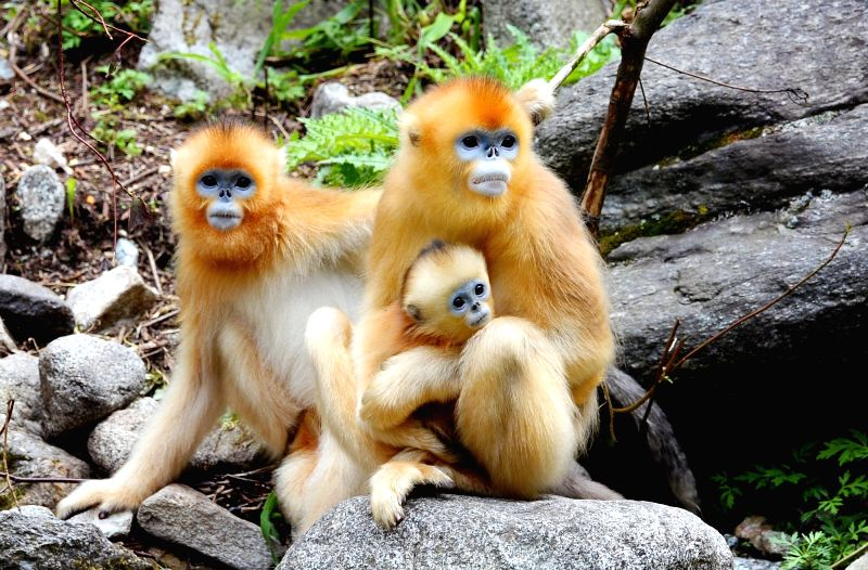 FOPING, Aug. 4, 2018 - Golden monkeys rest in the giant panda valley of the Qinling Mountain in Foping County, northwest China's Shaanxi Province, Aug. 3, 2018. Qinling golden monkeys are under ...