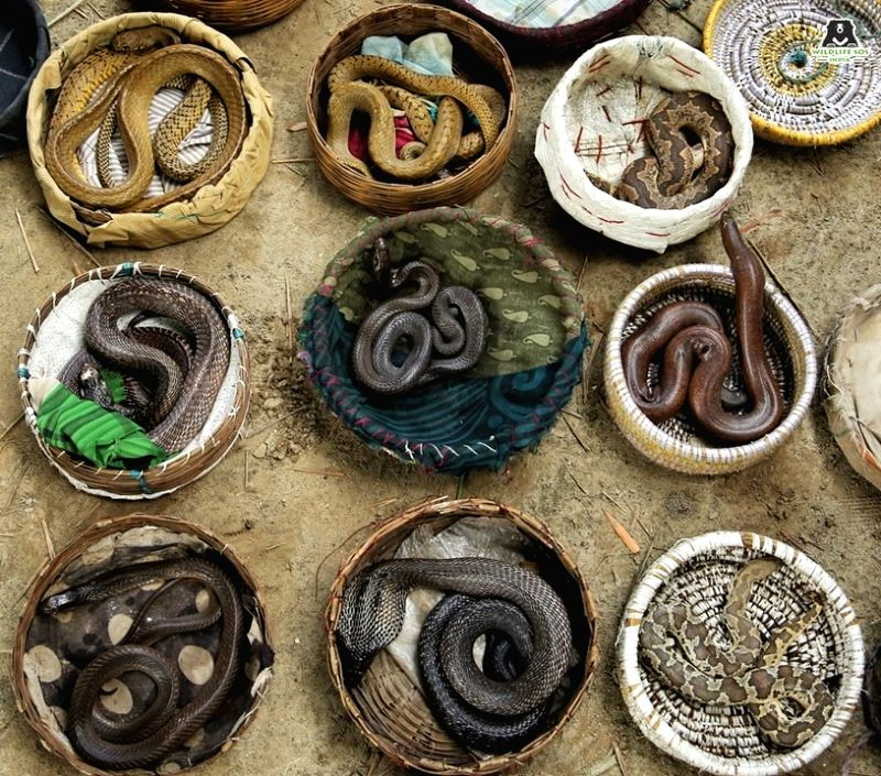 Forest department officials on Tuesday seized 33 snakes from the illegal custody of snake charmers from three different temples in Agra. The snakes are under the care and treatment of the Wildlife SOS, an NGO running the bear rescue centre and the el