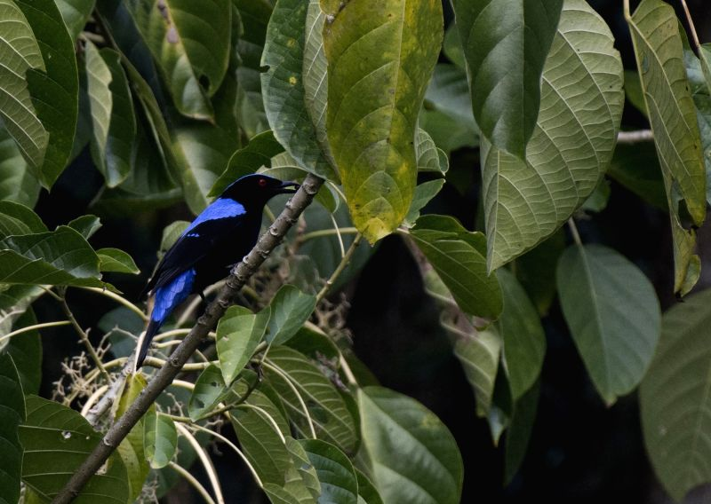Fragmented NE rainforests reduces ecological interactions between plants to seed-dispersing birds. (photo:Abir Jain)