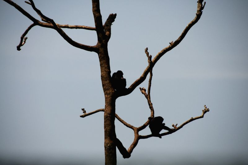 Some chimpanzees stay on the tree in Tacugama Chimpanzee Sanctuary of Sierra Leone, April 28, 2014. Located close to Freetown, the capital of Sierra Leone, ...