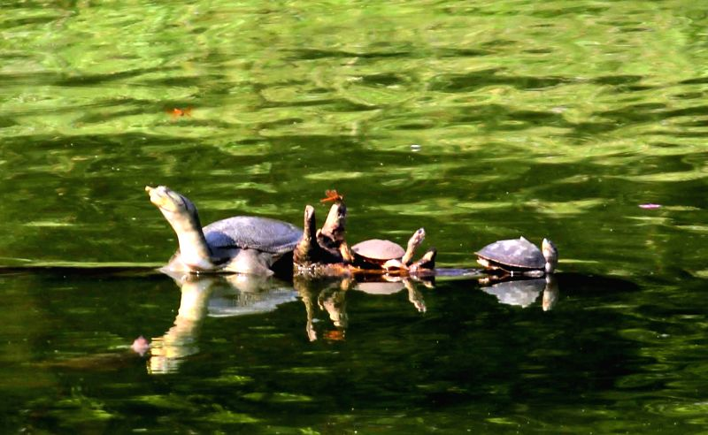 Fresh water turtles at Madhab Pukhur, Hayagriva Madhava Temple in Kamrup district of Assam on May 17, 2016.