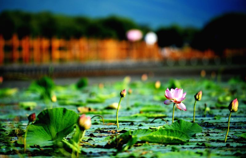 Lotus flowers are in blossom at the wetland of Heixiazi Island, a Sino-Russian border island, in northeast China's Heilongjiang Province, Aug. 17, 2014. (Xinhua/Wang