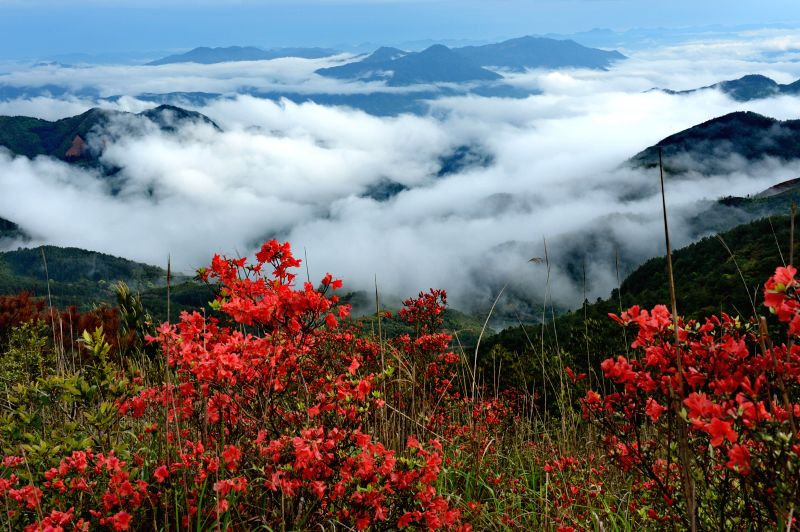 Azalea blossoms are seen on the Gaogang mountain, southeast China's Fujian Province, April 26, 2014.