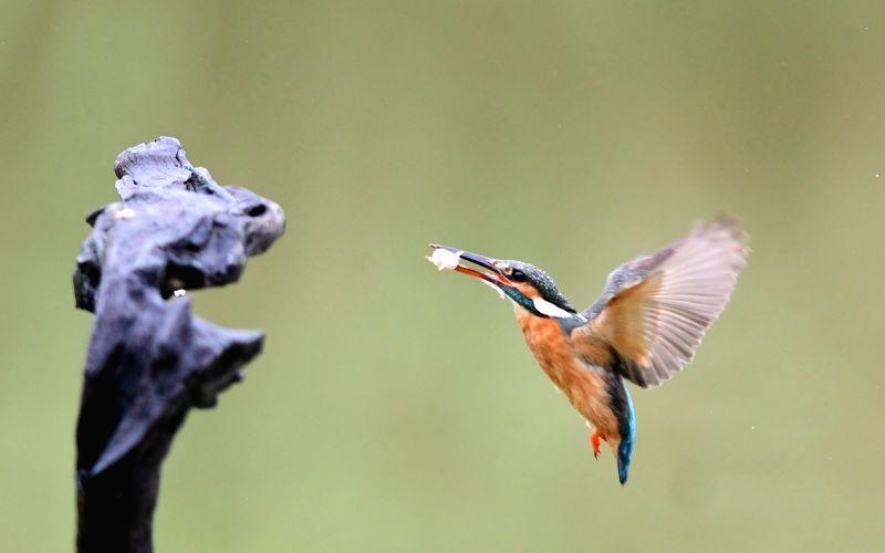 FUZHOU, June 18, 2017 - A kingfisher catches fish in Minhou County of Fuzhou City, southeast China's Fujian Province, June 18, 2017.