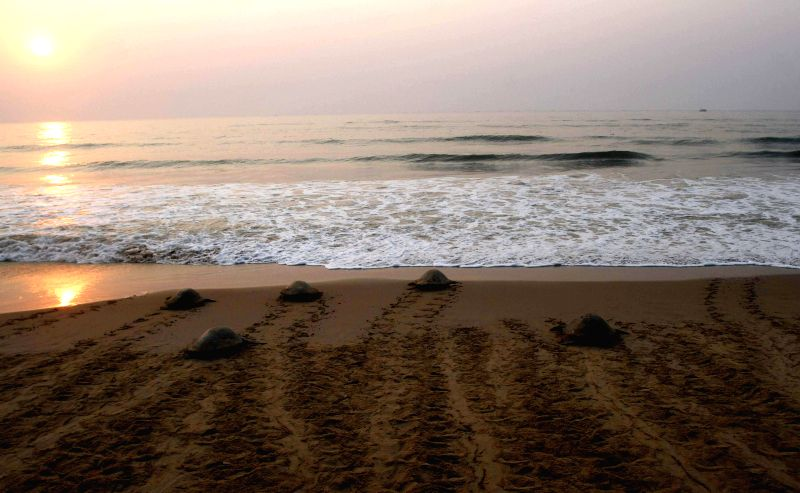 Olive Ridley turtles return back to the Bay of Bengal after laying eggs on shore in Ganjam district of Odisha on March 18, 2015.