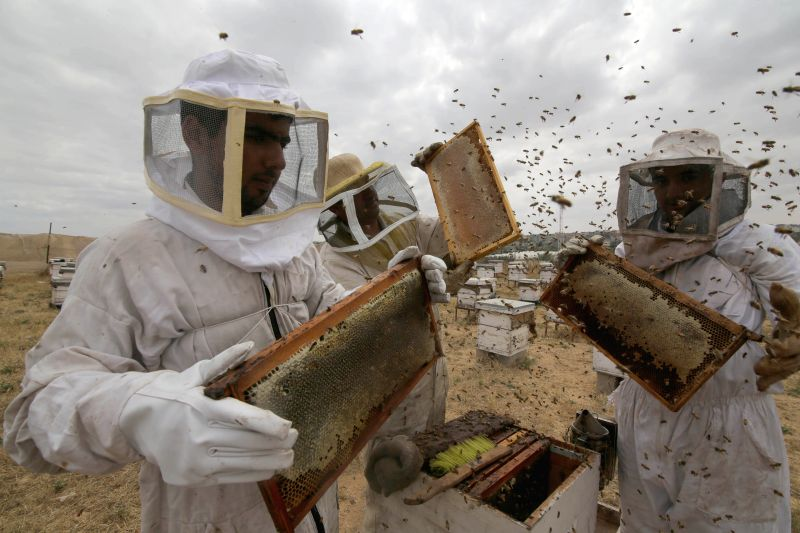 GAZA, April 24, 2017 - Palestinian beekeepers collect honey from a beehive at a honeybee farm in the southern Gaza Strip city of Rafah, on April 24, 2017.
