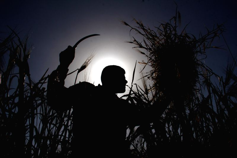 A Palestinian harvests wheat on a farm near the southern Gaza Strip city of Khan Younis, April 28, 2014. Hundreds of Palestinian workers depend on the wheat harvest ..