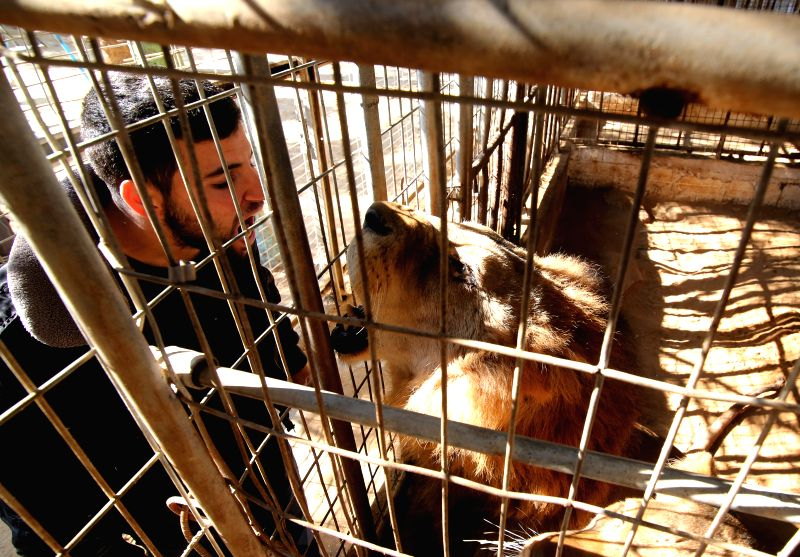 GAZA, Jan. 4, 2017 - A zoo keeper inspects a lion at Rafah Zoo in the southern Gaza Strip city of Rafah, on Jan. 4, 2017. Gaza's first zoo Rafah Zoo which was established 17 years ago faces closure ...