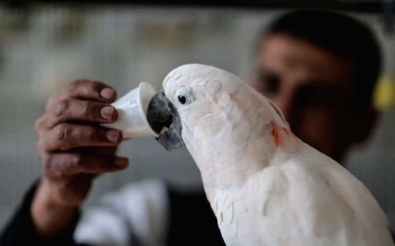 Palestinian bird keeper Ashraf al-aeraar helps his parrot to drink coffee in Gaza City, on March 10, 2015. Coco and Rico, two parrots of Palestinian bird keeper ...