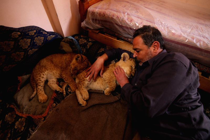 Palestinian Saado al-Jamal lay down beside his two two-month-old lion cubs inside his house in the southern Gaza Strip city of Rafah, on March. 18, 2015.  Al-Jamal ...