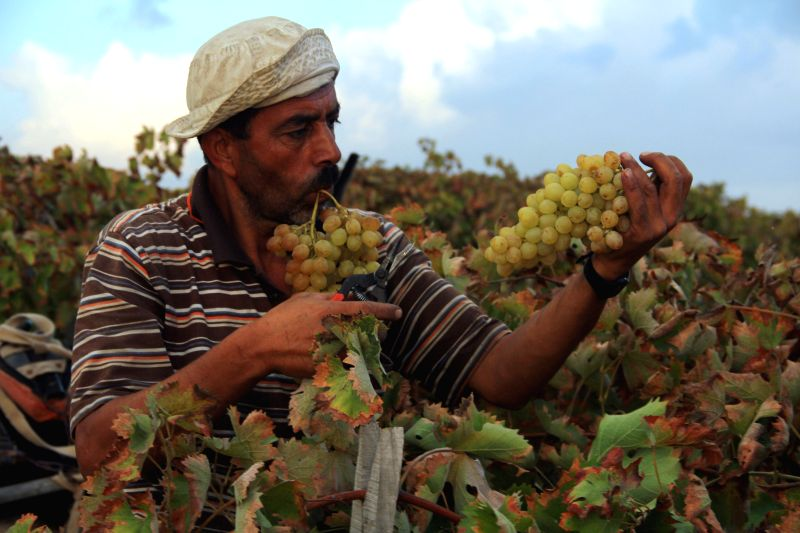 A Palestinian farmer harvests grapes in his field, in the southern Gaza Strip city of Rafah on Sept. 2, 2014. Life in the Gaza Strip was back to normal as Israel and ..