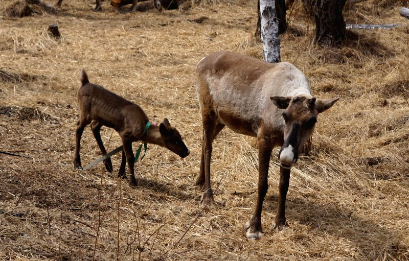 Reindeers fed by Ewenki people are seen at a farm in Aoluguya town of Genhe City, north China's Inner Mongolia Autonomous Region, May 9, 2014. Aoluguya township of the