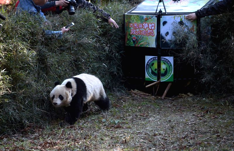 Giant panda Hua Jiao is seen crawling out of cage and released into the wild at Liziping Nature Reserve, southwest China's Sichuan Province, Nov. 19, 2015. Hua Jiao ...