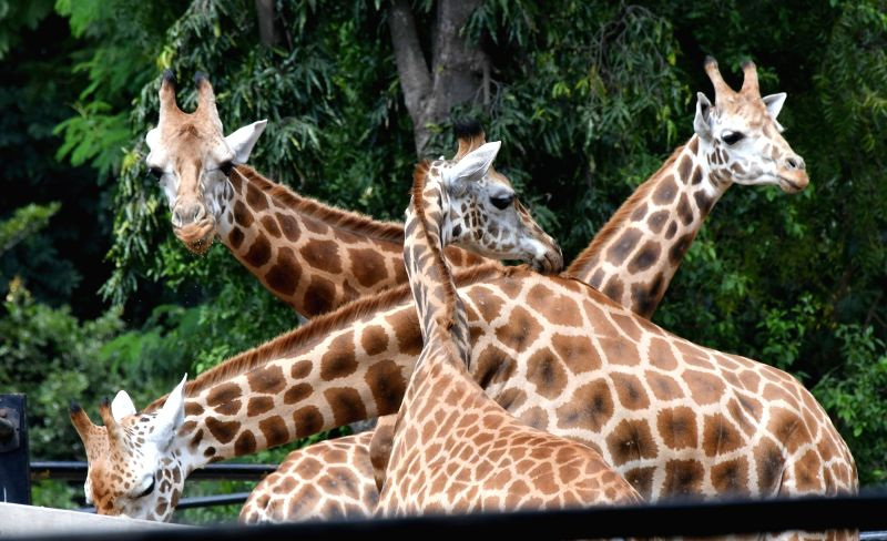 Giraffes mourn at Mysuru Zoo the death of Krishnaraja - another giraffe who died a natural death at the age of 22 on Nov 24, 2017.