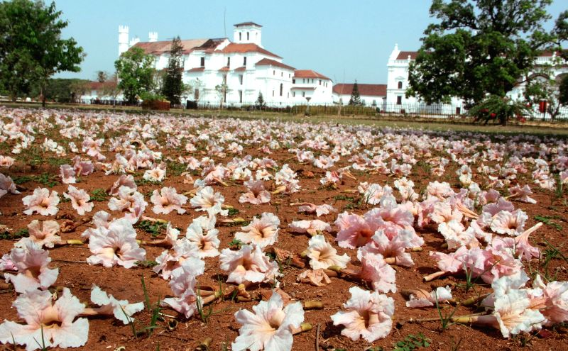 Pink Tecoma flowers scattered on the ground at Se Cathedral in Old Goa on March 21, 2015.