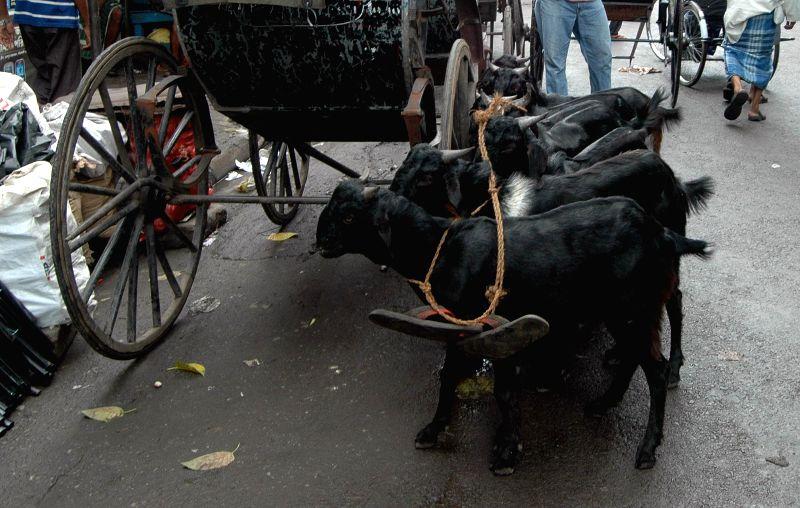 Goats on Kolkata roads on July 20, 2014.