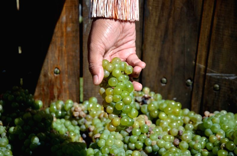 Grapes assembled in a drum for Grape-stomping - a method of traditional winemaking where grapes are crushed by having barefoot participants who repeatedly stomp on them to release their juices ...
