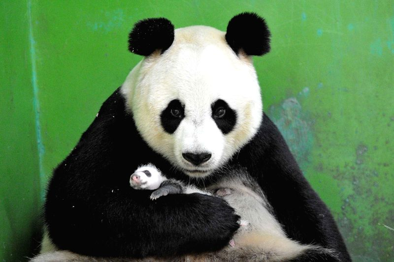 Giant panda Ju Xiao is seen with one of its newborn triplet cubs at the Chimelong Safari Park in Guangzhou, capital of south China's Guangdong Province, Aug. 25, .