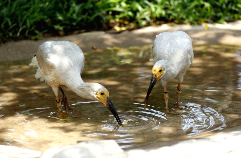 GUANGZHOU, July 11, 2018 - Baby crested ibises dabble at the Chimelong Birds Park in Guangzhou, south China's Guangdong Province, July 11, 2018. Eight crested ibis birdlings were hatched via ...