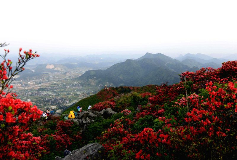 Tourists enjoy blossoming azaleas on the Longqian mountain, Danzhai County, southwest China's Guizhou Province, May 2, 2014, the second day of the three-day Labor Day