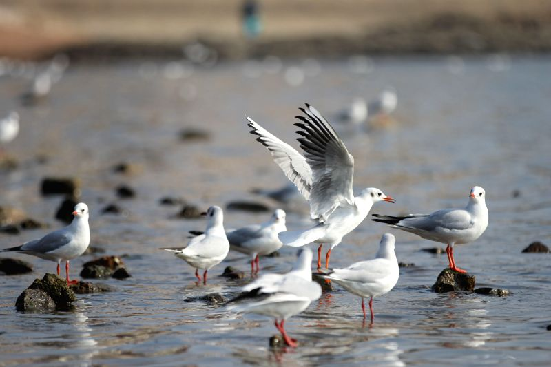 Gulls are seen on the seashore in Qingdao City, east China's Shandong Province, Dec. 8, 2015. (Xinhua/Huang Jiexian)