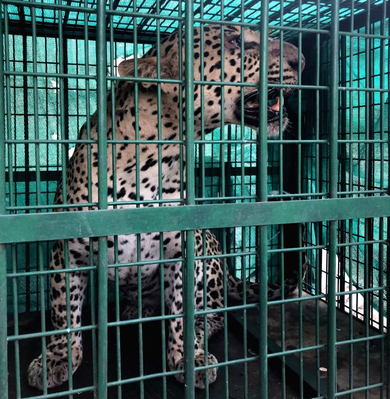 Gurugram: A three-year-old male leopard that had jumped into a double storeyed building and entered a hair salon in Badshahpur, was rescued by the joint efforts of wildlife and police and brought to Gurugram, on Aug 9, 2019.