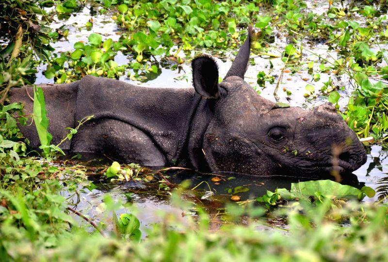 GUWAHATI, July 30, 2016 - A one-horned rhino is seen among flood in Kaziranga National Park near Guwahati, capital of Indian northeastern state of Assam, July 29, 2016. Incessant rain and rise of ...