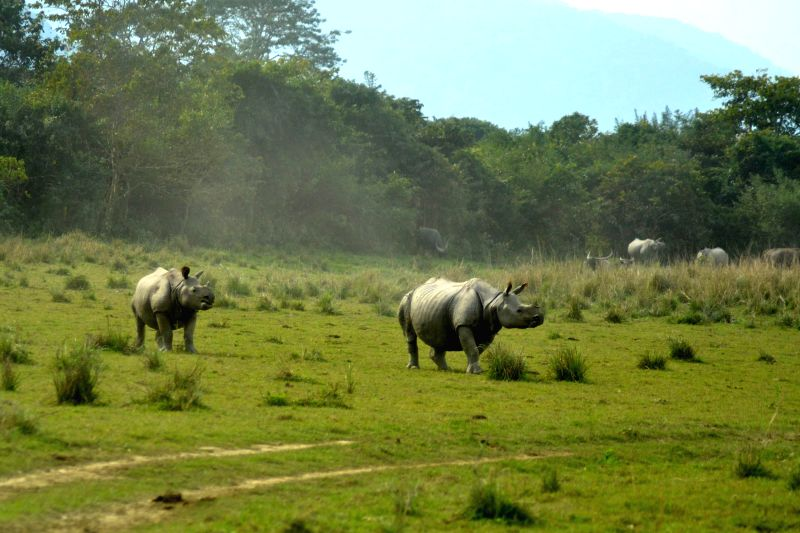 One-horned Rhinoceroses graze in the wild at the Kaziranga National Park in Guwahati, on Dec 21, 2014.