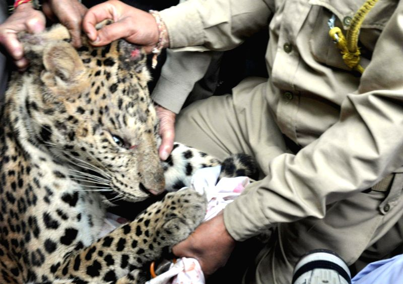 Zoo officials examine a fully grown leopard after tranquilizing it in Guwahati, on Jan 7, 2015.
