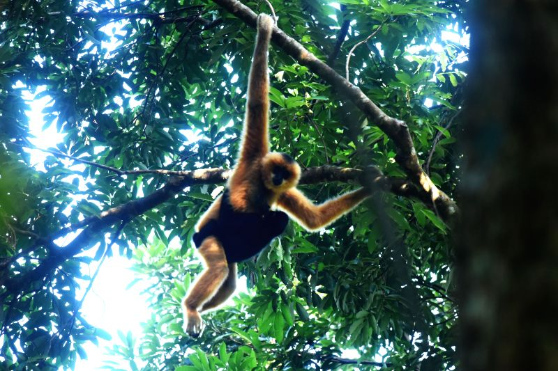 HAIKOU, Dec. 2, 2017 - Photo taken on Oct. 27, 2017 shows a female Hainan gibbon carrying her baby on a tree at the Bawangling National Nature Reserve in Changjiang, south China's Hainan Province. ...
