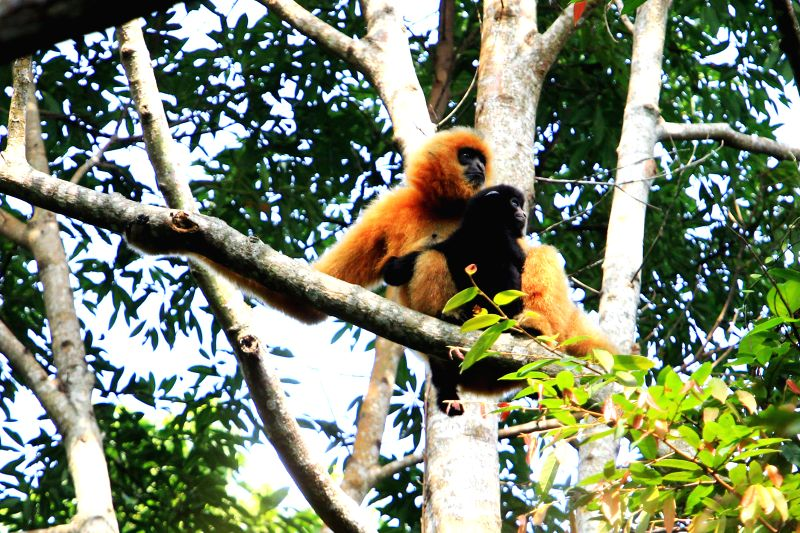 HAIKOU, Dec. 2, 2017 - Photo taken on Oct. 28, 2017 shows a female Hainan gibbon and her baby sitting on a tree at the Bawangling National Nature Reserve in Changjiang, south China's Hainan Province. ...