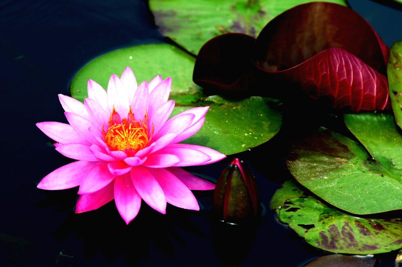 A lotus flower is in blossom in Haiyang City, east China's Shandong Province, June 23, 2014.