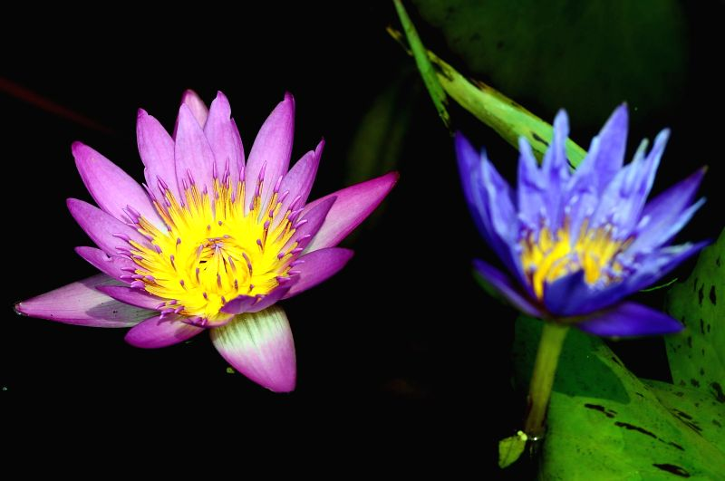 Lotus flowers are in blossom in Haiyang City, east China's Shandong Province, June 23, 2014.