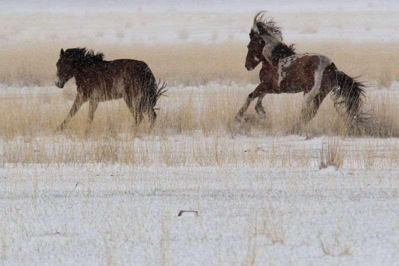 Horses run in snow on the Barkol Grassland in Hami, northwest China's Xinjiang Uygur Autonomous Region, April 15, 2014. The grassland on Tuesday saw a snowfall in ...