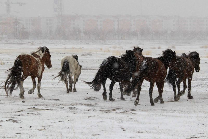 Horses walk in snow on the Barkol Grassland in Hami, northwest China's Xinjiang Uygur Autonomous Region, April 15, 2014. The grassland on Tuesday saw a snowfall in ...