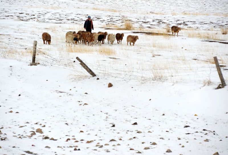 Sheep graze on the snow-covered Barkol Grassland in Hami, northwest China's Xinjiang Uygur Autonomous Region, April 15, 2014. The grassland on Tuesday saw a snowfall .