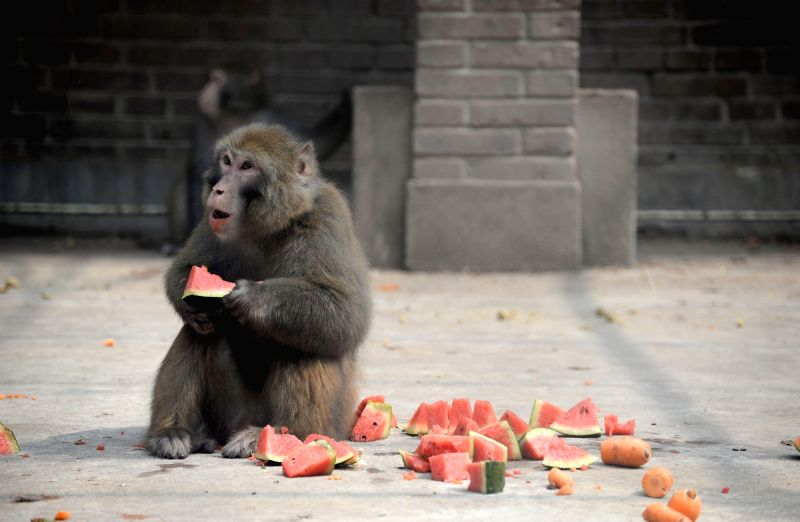 HANDAN, July 19, 2018 - A macaque eats watermelon to enjoy summer coolness at Handan Zoo in Handan City, north China's Hebei Province, July 18, 2018. Zoo staff members help animals shield from summer ...