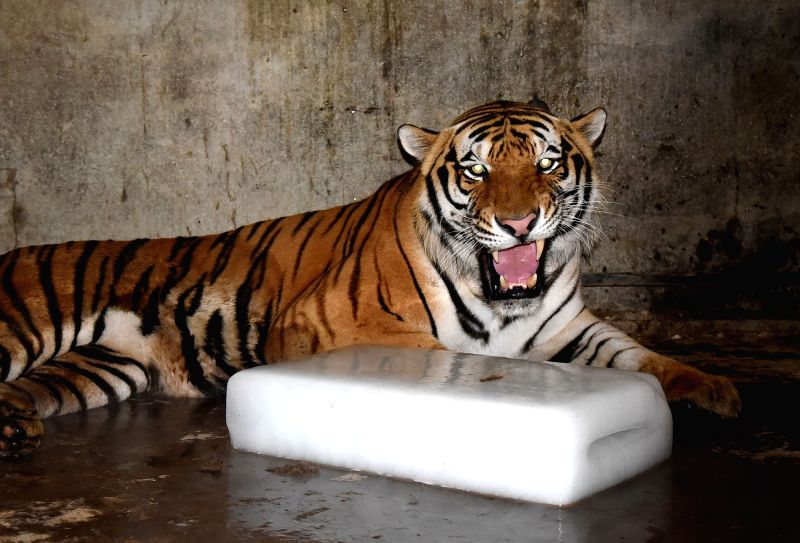HANDAN, July 19, 2018 - A Siberian tiger rests beside a block of ice at Handan Zoo in Handan City, north China's Hebei Province, July 18, 2018. Zoo staff members help animals shield from summer heat ...