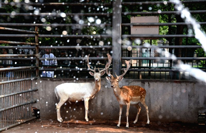 HANDAN, July 19, 2018 - Fallow deers enjoy summer coolness by spraying and taking showers at Handan Zoo in Handan City, north China's Hebei Province, July 18, 2018. Zoo staff members help animals ...
