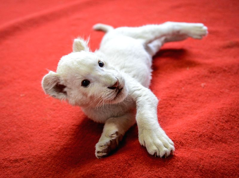 A two-month-old white lion plays with a puppy at a wildlife park in Hangzhou, capital of east China's Zhejiang Province, April 21, 2014. The white lion cub was ...