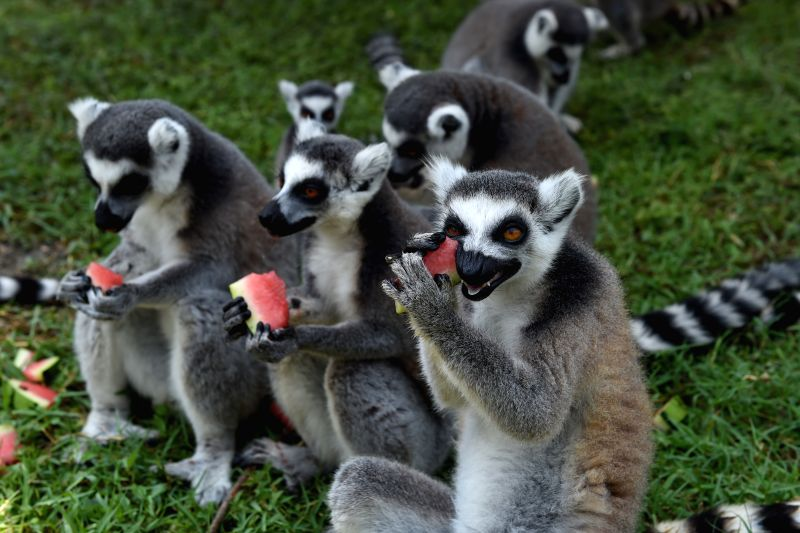 HANGZHOU, July 27, 2016 - Ring-tailed lemurs enjoy watermelon amid summer heat in Hangzhou, capital of east China's Zhejiang Province, July 27, 2016.