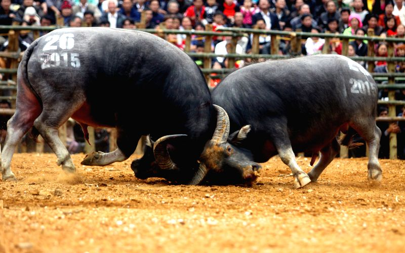 Photo taken on March 2, 2015 shows two buffalos fighting during the buffalo fighting festival at Van Yen District in Yen Bai province, northern Vietnam. The two-day ...