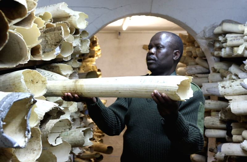 HARARE, June 3, 2016 - A Zimbabwean national parks and wildlife authorities worker checks the ivory stockpile in Harare, Zimbabwe, June 2, 2016. Zimbabwe's ivory stockpile has grown to 70 tonnes and ... - Oppah Muchinguri