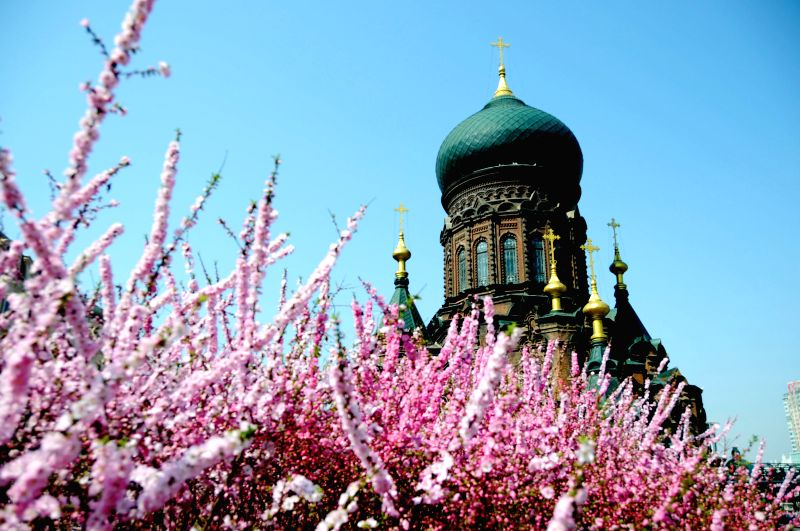 Peach blossoms are seen in front of the Sophia Cathedral in Harbin, capital of northeast China's Heilongjiang Province, April 23, 2014.  ..