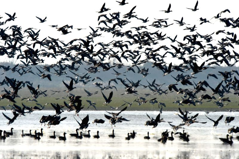 Hefei (China): Photo taken on Dec. 12, 2014 shows the migratory birds flying over the Shengjin Lake, Chizhou City, east China's Anhui Province, Dec. 12, 2014.