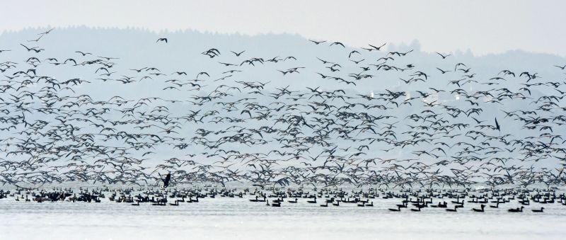 Photo taken on Dec. 12, 2014 shows the migratory birds flying over the Shengjin Lake, Chizhou City, east China's Anhui Province, Dec. 12, 2014.